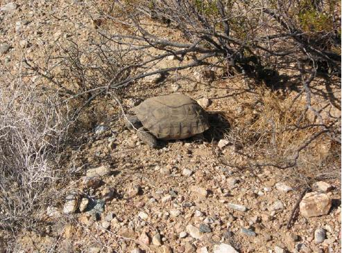 The desert tortoise is just one threatened species that requires habitat conservation planning by solar project developers.
